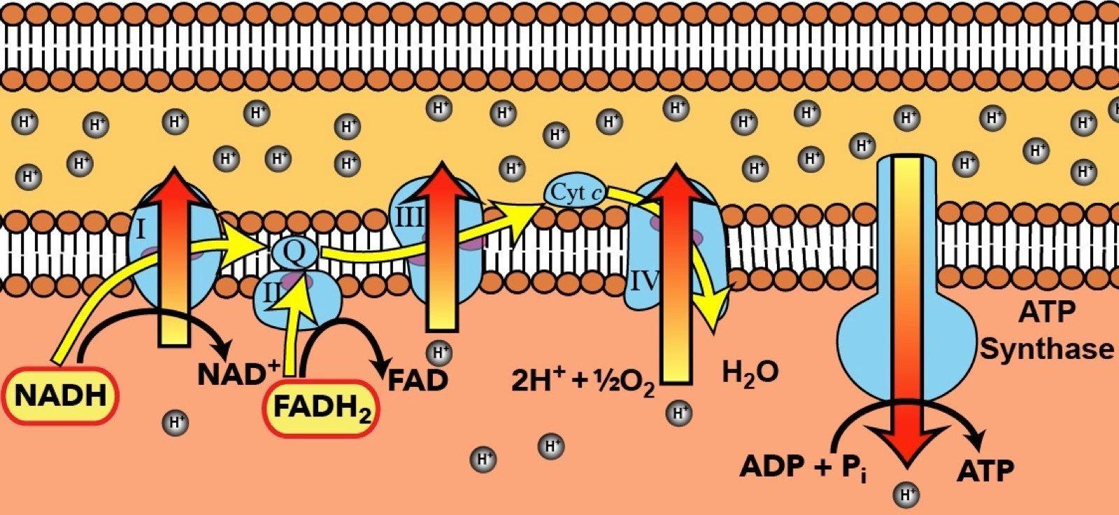 Mitocondri – parte II: energia, ciclo dell'acido citrico e catena di trasporto degli elettroni