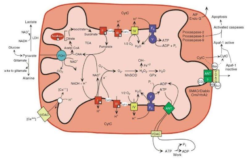 mitocondri-atp-ciclo-di-krebs