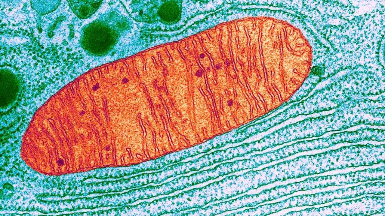 Mitocondri – parte III: origine delle malattie metaboliche, degenerative, cancro e invecchiamento